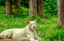 Albino lion sleep on green grass background in zoo Stock Image
