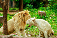 Albino lion sleep on green grass background in zoo Stock Photos