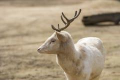 Albino Male of Fallow Deer in summer. Albino Male of Fallow Deer in a day of summer Stock Image
