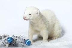 Nice albino male ferret in christmas style with decorations. Albino male ferret in winter christmas style posing in studio Stock Photos
