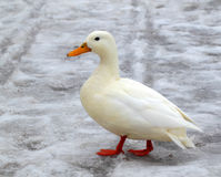 Albino mallard duck. Over snow background Stock Photos