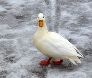 Albino mallard duck. Over snow background Royalty Free Stock Photo