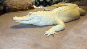 Albino Mississippian Alligator fotografie stock