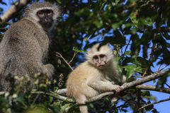 Albino Monkey Royalty Free Stock Images