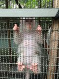 Albino monkey Royalty Free Stock Photo