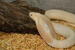 Albino Monocellate Cobra (Naja kaouthia) Stock Image
