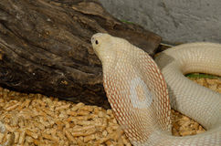 Albino Monocellate Cobra (Naja kaouthia) Royalty Free Stock Photography