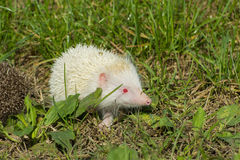 Albino northern white-breasted hedgehog (Erinaceus roumanicus) Royalty Free Stock Image