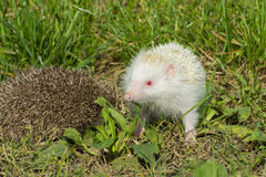 Albino northern white-breasted hedgehog (Erinaceus roumanicus) Stock Photos