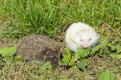 Albino northern white-breasted hedgehog (Erinaceus roumanicus) Royalty Free Stock Images