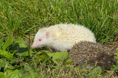 Albino northern white-breasted hedgehog (Erinaceus roumanicus) Stock Image