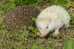 Albino northern white-breasted hedgehog (Erinaceus roumanicus) Stock Images
