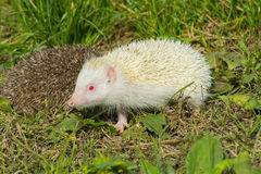Albino northern white-breasted hedgehog (Erinaceus roumanicus) Royalty Free Stock Photography