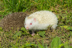 Albino northern white-breasted hedgehog (Erinaceus roumanicus) Stock Photo