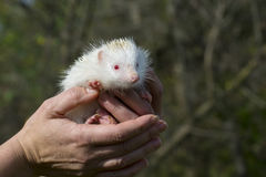Albino northern white-breasted hedgehog (Erinaceus roumanicus) Royalty Free Stock Photo