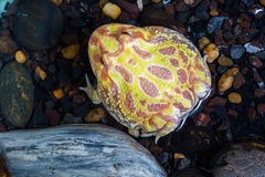 Albino Pac-Man Frog, Horned Frog (Ceratophrys ornata). In the tank Royalty Free Stock Photo