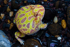 Albino Pac-Man Frog, Horned Frog (Ceratophrys ornata). In the tank Royalty Free Stock Images