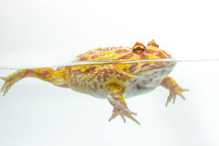 Albino Pac-Man Frog, Horned Frog (Ceratophrys ornata). On white background Stock Image