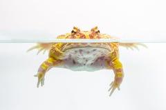 Albino Pac-Man Frog, rana de cuernos y x28; Ornata& x29 de Ceratophrys; Fotos de archivo libres de regalías
