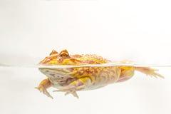 Albino Pac-Man Frog, rana de cuernos y x28; Ornata& x29 de Ceratophrys; Fotos de archivo