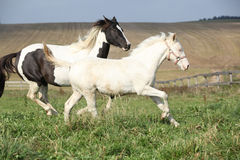 Albino and paint horse running Royalty Free Stock Photo