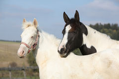 Albino and paint horse together Stock Photo