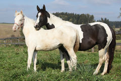 Albino and paint horse together Royalty Free Stock Photos