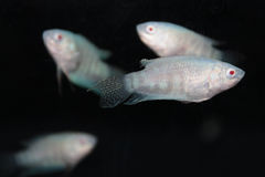 Albino paradise fish (Macropodus opercularis) aquarium fish Royalty Free Stock Photo