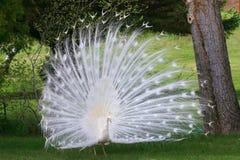 albino peacock λευκό Στοκ Εικόνες
