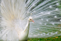 Albino Peacock Stock Photos