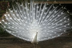 Albino peacock. With tail feathers fanned out stock photo