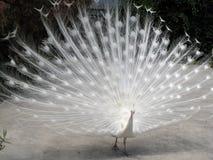 albino peacock1 Royaltyfria Bilder