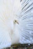 Albino Peafowl blanco foto de archivo