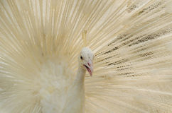 Albino peafowl is spreading it's tail-feathers. To the female Royalty Free Stock Photography