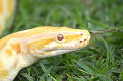 Albino phyton Stock Photo