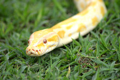 Albino phyton Stock Photography