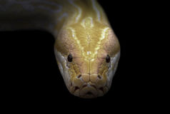 Albino phyton head in the dark Stock Photo