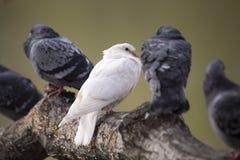 Albino Pigeon Stock Photos