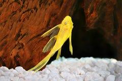 Albino γατόψαρων Pleco χρυσά ψάρια ενυδρείων Plecostomus dolichopterus Ancistrus pleco τρίχα-μύτης Στοκ Φωτογραφία