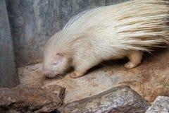 Albino porcupine Στοκ εικόνα με δικαίωμα ελεύθερης χρήσης