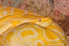 Albino Python Stock Images