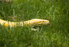 Albino Python Royalty Free Stock Images
