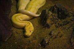 Albino python Royalty Free Stock Image