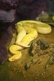 Albino python Royalty Free Stock Photography