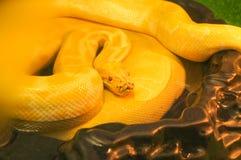 Albino python closeup Royalty Free Stock Photos