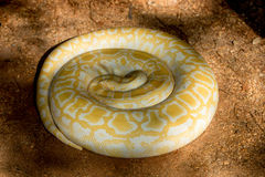 Albino Python. Coiled up in the Shade Royalty Free Stock Images