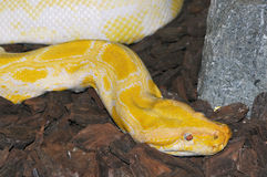 Albino python molurus Stock Photo
