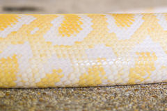 Albino python skin Stock Photo