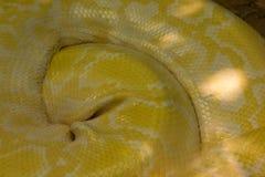 Albino Python umwickelte in goldenen Schnitt stockbild