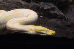 Albino python Stock Photography